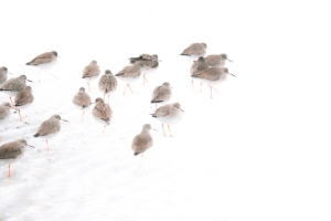 Turnstones in the Snow